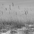 Dune Seaoats by Paul Rebmann