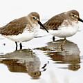 Dunlin Seeing Double by Sue Harper