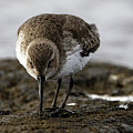 Dunlin On The Mudflat by Sue Harper
