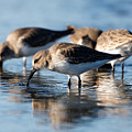 Dunlin Sandpipers At The Shoreline by Sue Harper
