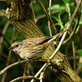 Dunnock In A Hedgerow by Jeff Townsend