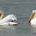 Duo Pelicans by Wendy Fox