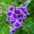 Duranta Flower 2 by Jeelan Clark