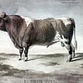 Durham Bull, 1856 by Granger