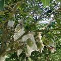 Durian Tree Hong Kong by Kathy Daxon