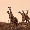Dusty Giraffes by Adele Van Schalkwyk