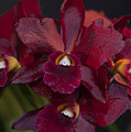Dusty Red Orchid by Stephen Schwiesow