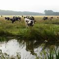 Dutch Cows by Jan Daniels