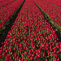 Dutch Tulips Second Shoot Of 2015 Part 1 by Alex Hiemstra