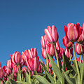 Dutch Tulips Second Shoot Of 2015 Part 8 by Alex Hiemstra