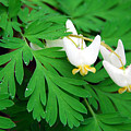 Dutchman's Breeches by Alan Lenk