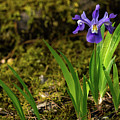 Dwarf Crested Iris 2 North Georgia Mountains by Lawrence S Richardson Jr