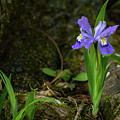 Dwarf Crested Iris North Georgia Mountains by Lawrence S Richardson Jr