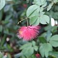 Dwarf Powder Puff Flower by Tracy