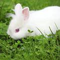 Dwarf White Bunny Spring Scene by Goce Risteski