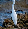 Eager Egret by DigiArt Diaries by Vicky B Fuller