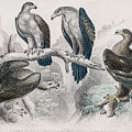 Eagle Birds Print by Ilan Rosen