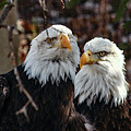 Eagle Buddies by Frank Vargo