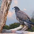 Eagle by Carol Deltoro
