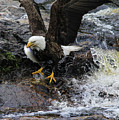 Eagle Catches Fish by Katie W