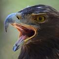 Eagle Cry by Barbara Matthews