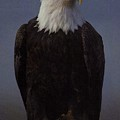 Eagle by Diane Kurtz