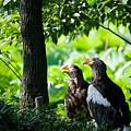 Eagle by Dorothy Binder