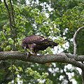 Eagle Eating A Fish by James Jones