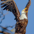 Eagle Excitement by Monica Hall