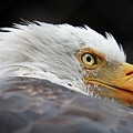 Eagle Eye by Ty Rouse  Wild Images