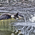 Eagle Fishing by Bill Hosford