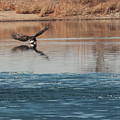 Eagle Fishing by Phyllis Taylor