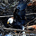 Eagle Getting Ready To Feed by Sandra Peery