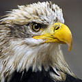 Eagle by Harry Spitz