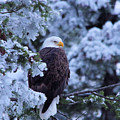 Eagle In A Frosted Tree by Jeff Swan
