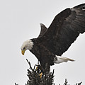 Eagle In A Snow Shower by Larry Ricker