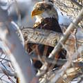 Eagle In A Tree by Jeff Swan