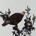 Eagle In A Tree by Karen Molenaar Terrell