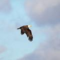 Eagle In Blue Skies by Barbara Treaster
