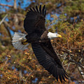 Eagle In Fall by MCM Photography