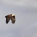 Eagle In Flight by Barbara Treaster