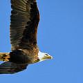Eagle In Flight by Brian O'Kelly