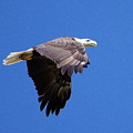 Eagle In Flight by Don Youngclaus