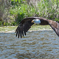 Eagle In Flight by Steve Somerville
