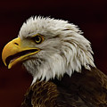 Eagle In Profile by Mark Madion