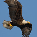 Eagle In Sunlight by William Jobes