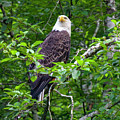 Eagle In Tree by Anthony Jones