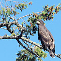 Eagle by John Greaves
