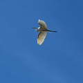 Eagle Lakes Park - Great Egret In Flight by Ronald Reid