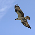 Eagle Lakes Park - Osprey In Flight With Sea Fish Meal by Ronald Reid